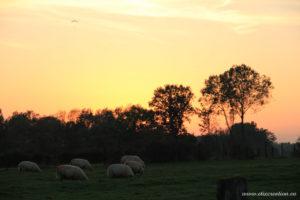 Un groupe de mouton broute lors d'un couché de soleil. Photographie d'animaux réalisé par Stéphane Thirion photographe