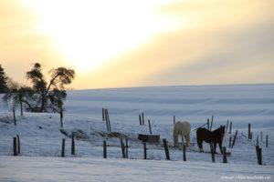 Couché de soleil neigeux et cheveaux photographie d'animaux prise par Stéphane Thirion Ethe