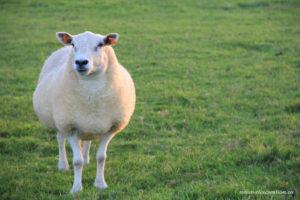 Un mouton en pâture photograhie d'animal par Stéphane Thirion photographie en Province de Luxembourg