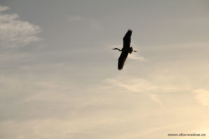 Un héron en vol dans le ciel photographie d'animal par Stéphane Thirion photographe à Arlon en Belgique