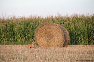 Un renard prend la pose photographie d'animal par Stéphane Thirion infographiste en Province de Luxembourg